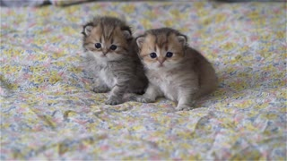 2 British Longhair sisters