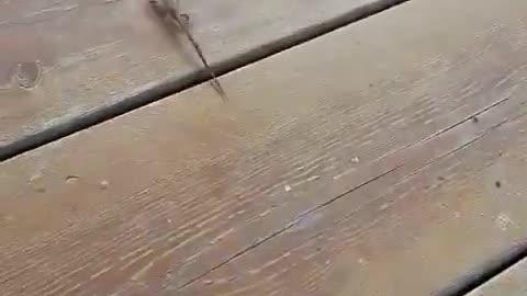Lizard running away