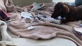 Puppy caught ripping magazine up while adult dogs sleep