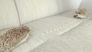 The little Hedgehog Race On The Dining