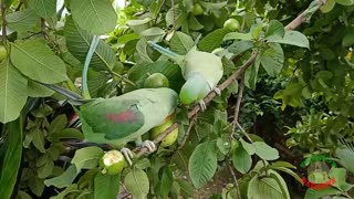 Indian Ringneck Parrot Talking And Eating.