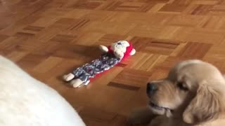 Golden Retriever puppy plays with dog's wagging tail