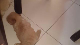 Dog Walks Like a Sea Lion
