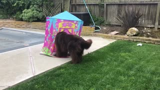 Little girl and Newfoundland play in toy castle