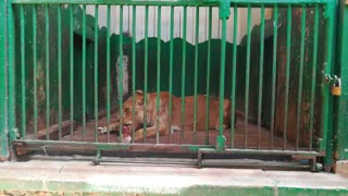 How Female Lions Treat Their Meat Daily