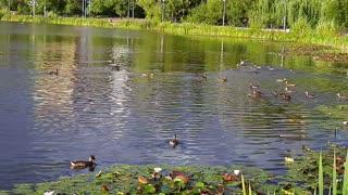 Big duck family
