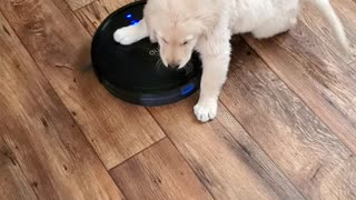 Puppy Takes Robot Vacuum for a Ride