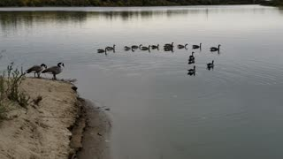wild geese on the river