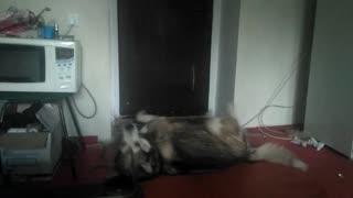 Russian wolf_1