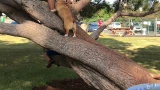 Corgi Climbs Tree
