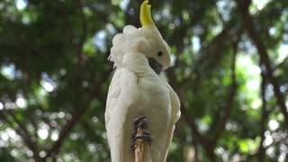 Asian cockatoo