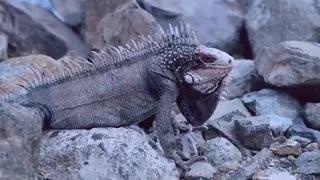 A stone-colored chameleon