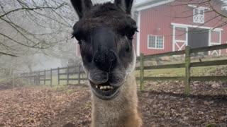 Llama Gets the Lip Jitters