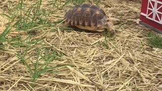Rowdy strolling around her enclosure