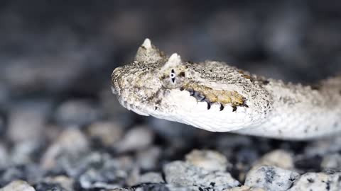 Canine Snake