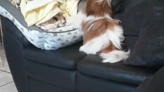 funny dog thinks he's an expert jumper ninja