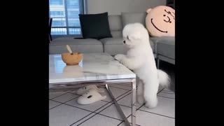 The dog is drinking water while jumping