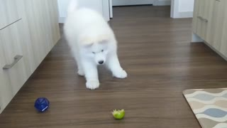 Samoyed has mind blown by lemon slice