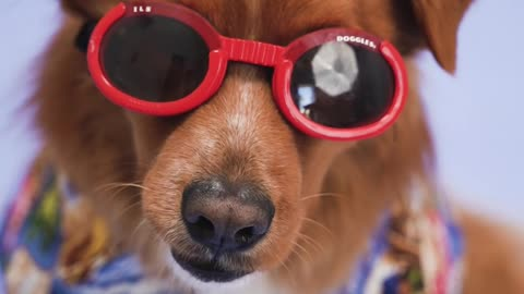 funny dog summer with glassess red best friends