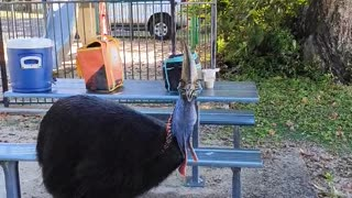 Cassowary Eating a Lady's Apple Whole