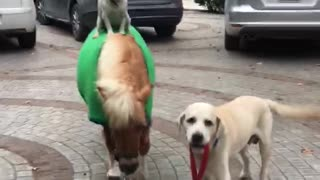 Just a dog riding a pony walked by another dog