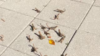 Sharing Lunch with Cute Florida Lizards