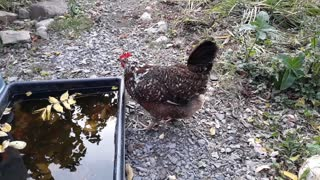 How chickens drink (water).