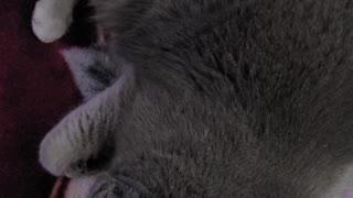Tired Sleeping Cat Meow