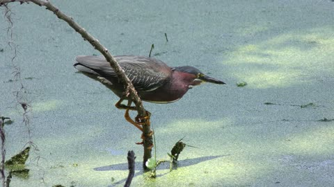 Green Heron catches a fish