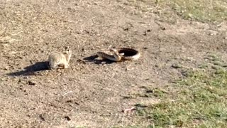 Squirrel Takes on a Snake to Defend Its Home