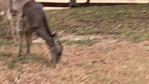 Deer at my front yard