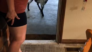 Neighbors Goat Knocks on Door and Comes Inside