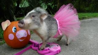 Pig in tutu Halloween costume plays the guitar