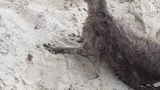 Police Rescue Confused Kangaroo from Beach