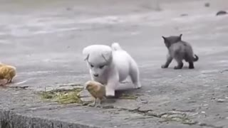 Cute Puppy Playing with Chickens