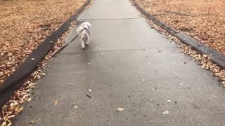 Cute dog video. Buddy drying himself after walking in the rain.