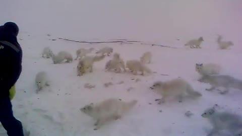 Arctic fox. evening meal. wonderful animal. -50 °
