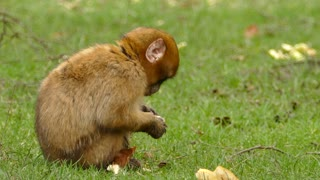 Little monkey feeding