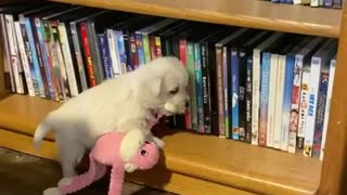Puppy tries to put toy on a shelf, ends up falling