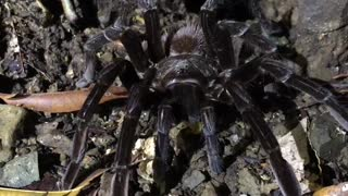 Tarantula jungle Costa Rica.