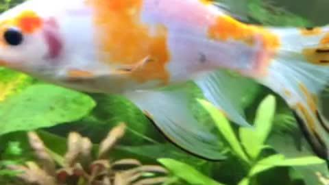 Stacy the Koi Goldfish!