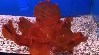 Rhinopias at The Hidden Reef