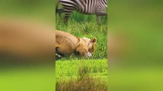 Watch the lion attack on the zebra