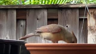 # Back Yard Birds Hawai'i Pretty Northern Cardinal Female