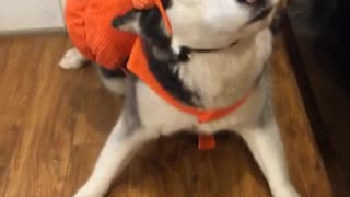 Dogs Not Impressed with Halloween Costumes