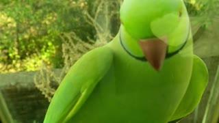 green parrot knock on door