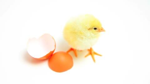 Newborn Chick 🐣 yellow little soul #Rumble