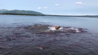 Dog Swims with Salmon School