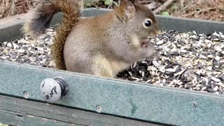 Cutest Baby Squirrel Constantly Eating