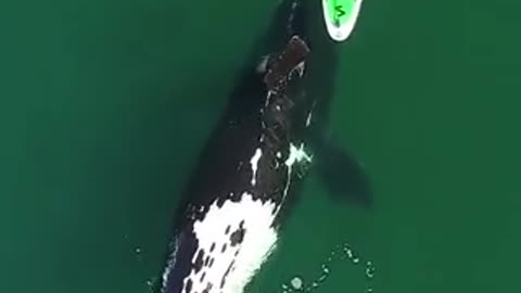 DANGEROUSLY AWESOME: Southern RIght whale seemingly plays with a woman on a paddleboard